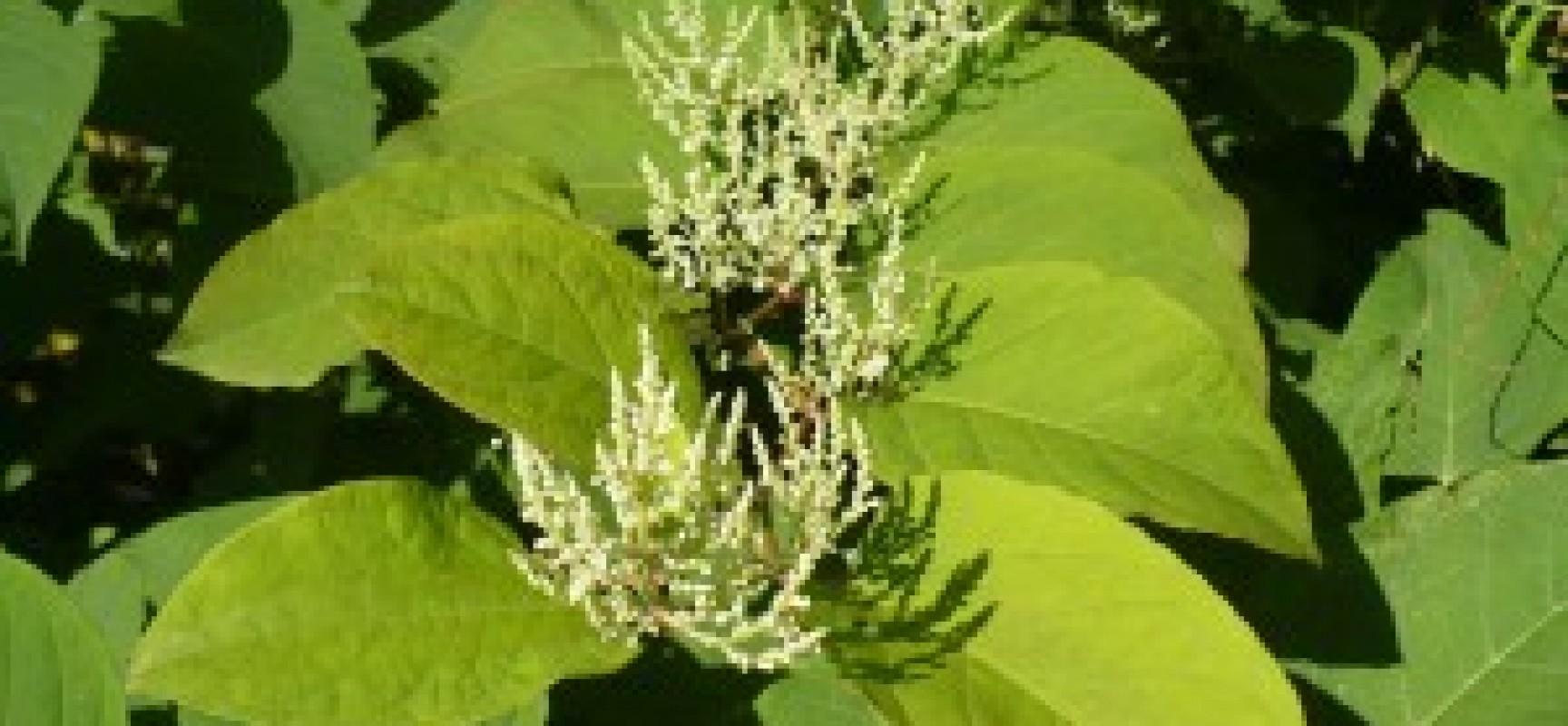 Réunion publique sur les Plantes Exotiques Envahissantes
