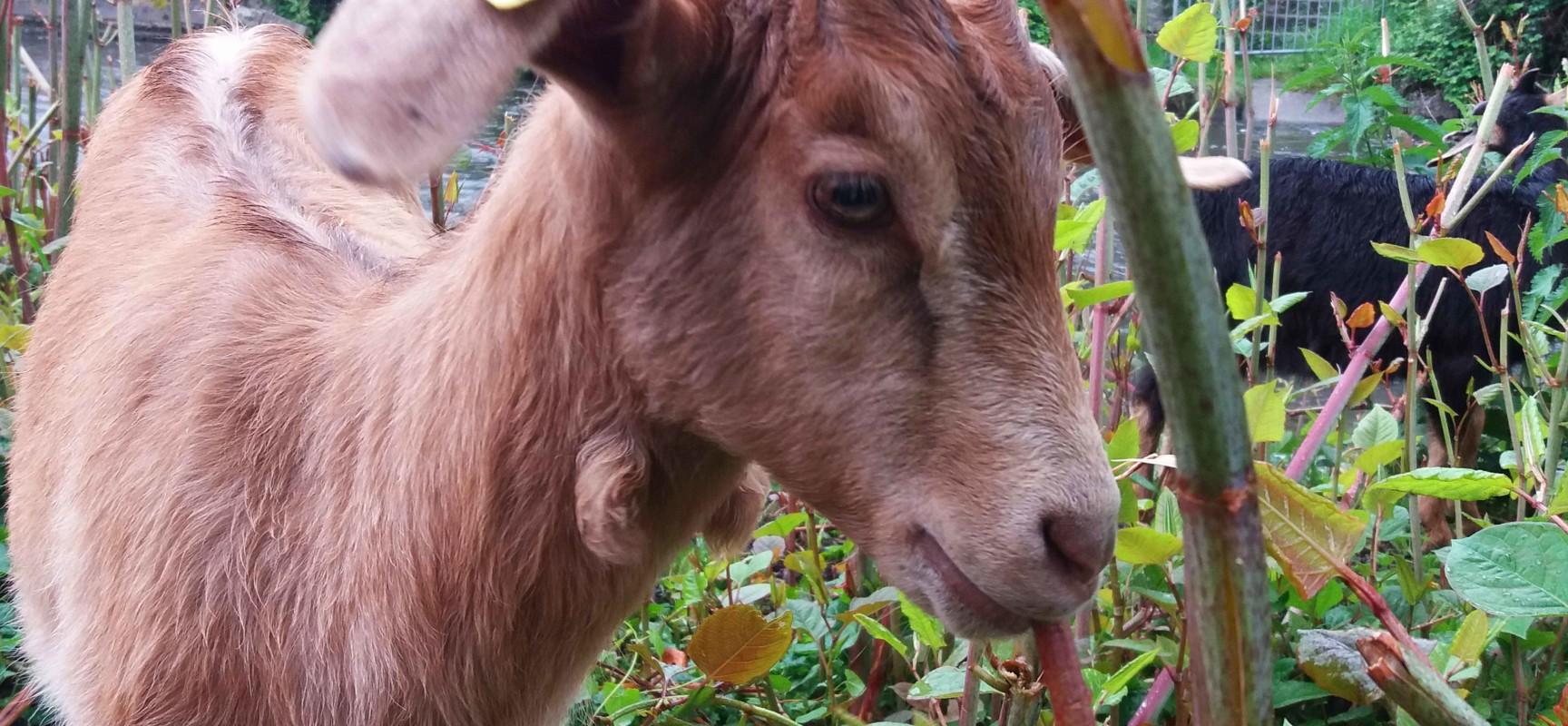 3 jeunes chevrettes ont rejoint le troupeau #Ecopaturage #Aubusson